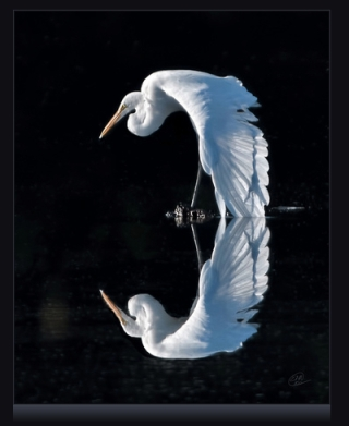 Award-winning Egret reflection photo by Ted Miller