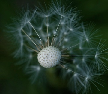 up close photograph of a dandelion going to seed by Pamela Aquilani