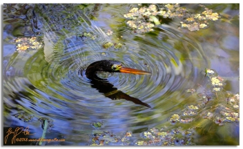 photo of enchanted anhinga by Geoff Coe