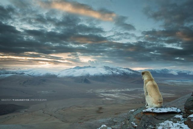 "The Himalayan Dog photo by Sebastian Wahlhuetter ""Winter is Coming"""